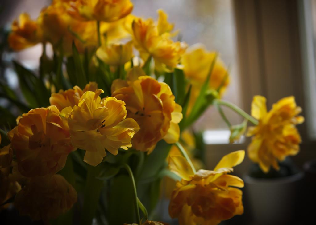 tulips-poziom